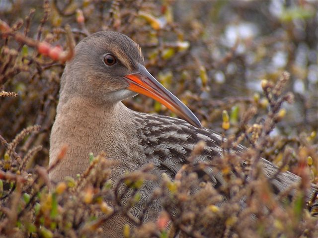 The bird formerly known as the California clapper rail. (Len Blumin/Flickr)  https://www.flickr.com/photos/lenblumin/5281230537/in/photostream/