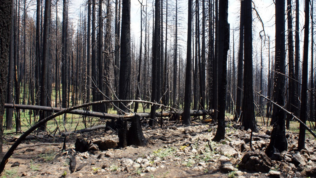 Trees killed in the Rim Fire will likely stay standing for only a decade or so. (Lauren Sommer/KQED)