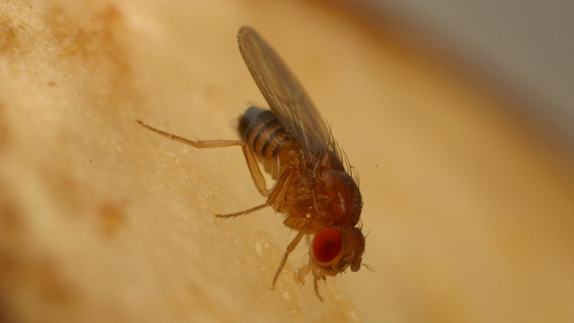 Tiny fruit flies will help Stanford scientists study the complicated genetics of type 2 diabetes. (Dahanukar Lab/UC Riverside)