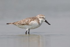Spoonbill Sandpipers could become extinct in the next five years.