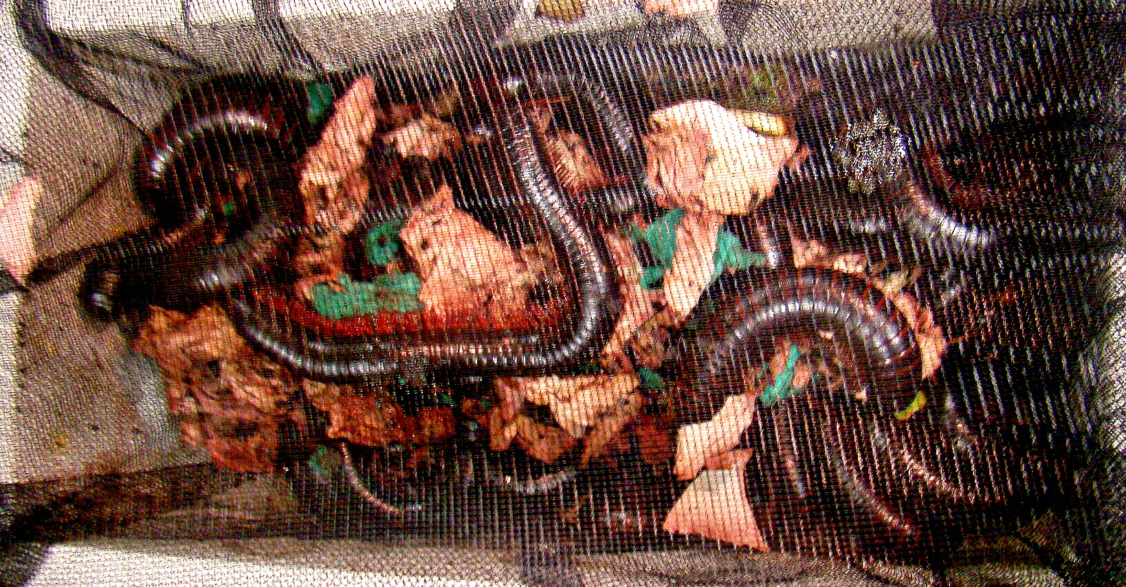 Giant millipedes in a mesh bag, discovered by customs agents at SFO. (U.S. Customs and Border Protection)