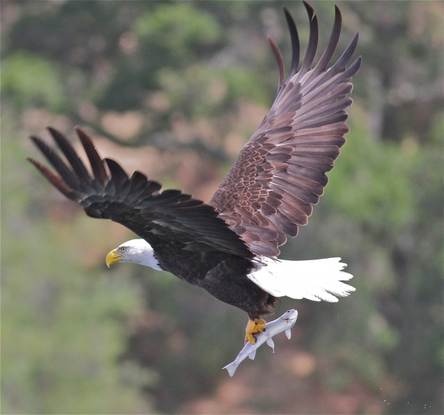 The adult bald eagle is an expert fisher, with strong talons that grip slippery prey. (Mary Malec)