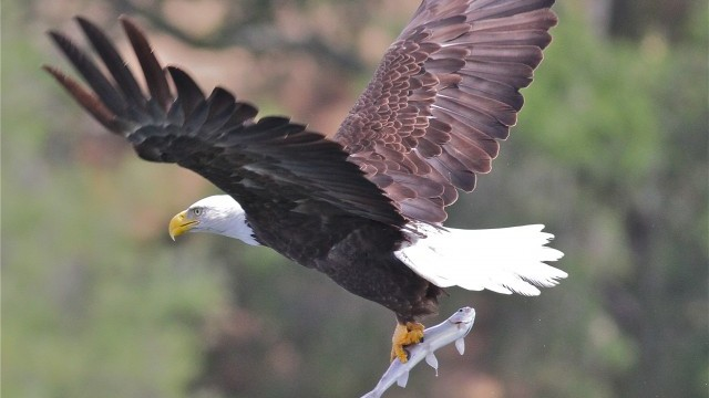 A Family of Bald Eagles Grows in Castro Valley