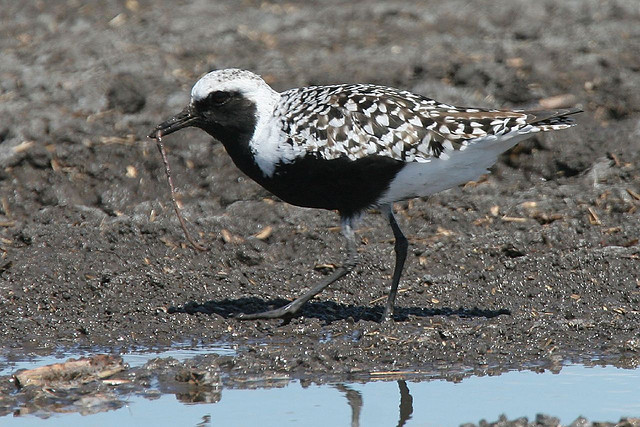"""Black-bellied plovers winter along San Francisco Bay shores.  This one is in breeding plumage which will molt leaving the bird overall mottled gray with only black """"wing pits"""" to identify it.  (Courtesy of Bob Lewis)"""