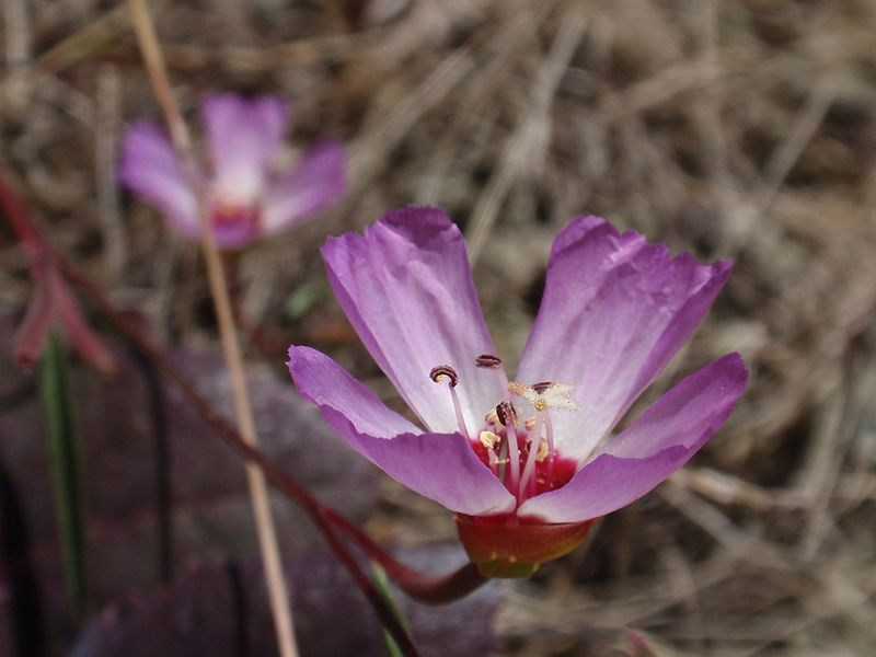 The highly endangered Presidio clarkia (Clarkia franciscana) is found in only two location in the entire world, right here in the Bay Area: the serpentine prairie in the Oakland Hills and in the Presidio of San Francisco. (Tom Hilton/Wikimedia)