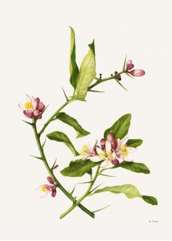 Thorn-bearing citron