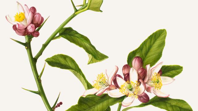 thorn-bearing citrus branch