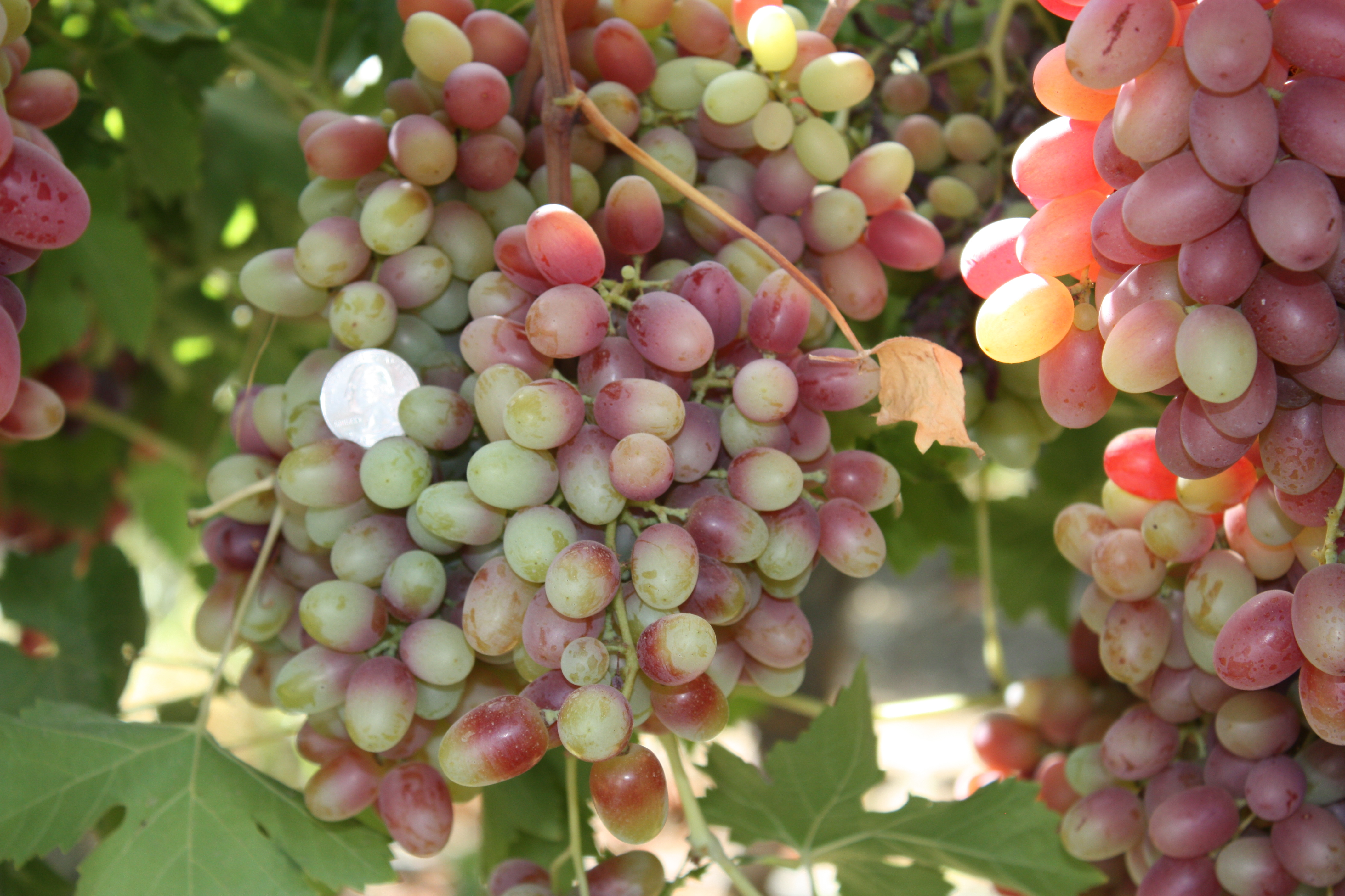 Drought-stressed grapes have variable coloring, rather than a uniform deep red. And they're smaller than the shiny quarter -- a common test of grape quality.