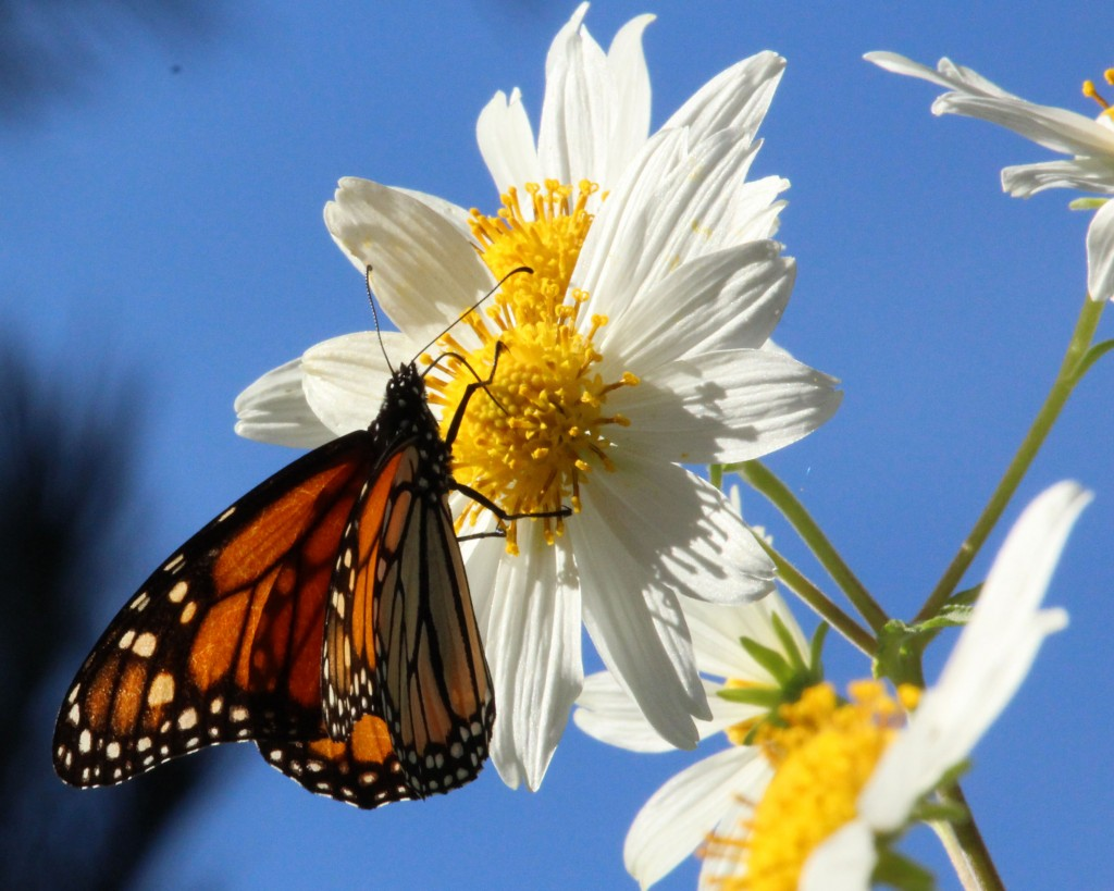 "A monarch draws nectar from a ""daisy tree"" in the Monarch Grove Sanctuary in Pacific Grove. (Photo: Liza Gross)"