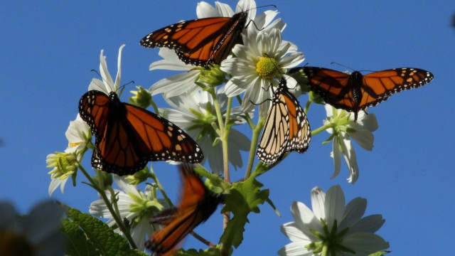 "Monarchs gather on a ""daisy tree"" for nectar in the Monarch Grove Sanctuary in Pacific Grove. (Photo: Barry Bergman)"