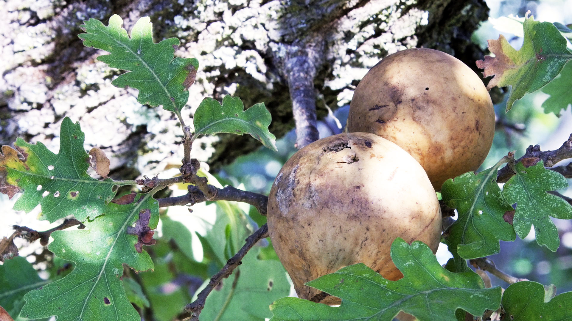 Oak apple galls, from the California Oak Gall Wasp (Andricus quercuscalifornicus).