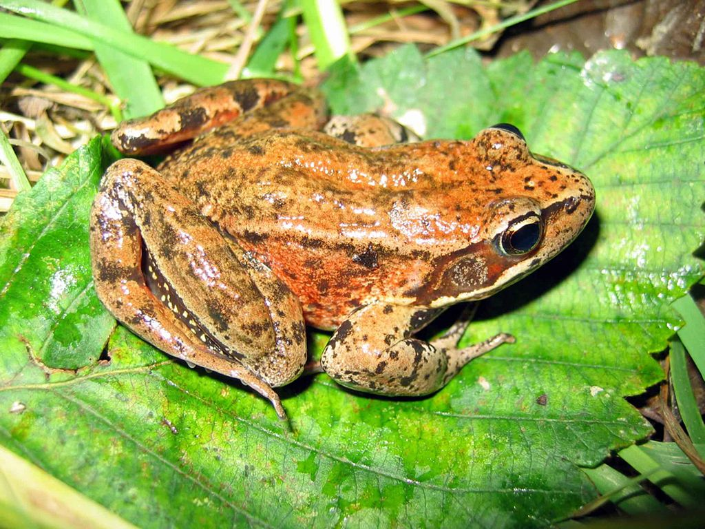 Bay Area Rainfall Ushers in Mating Season for Amorous Amphibians