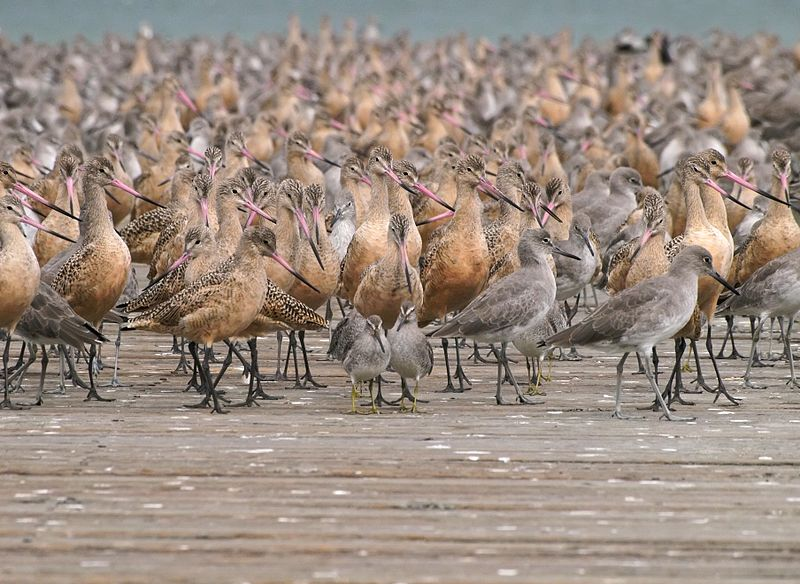 Shorebirds congregate around San Francisco Bay during the winter to feed on the abundant intertidal animal species. (Ingrid Taylar/Wikimedia)