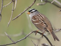 White crowned sparrows spend the winter in the lower 48 States with some found year-round in the Sierra. (Ingrid Taylar/Wikimedia)