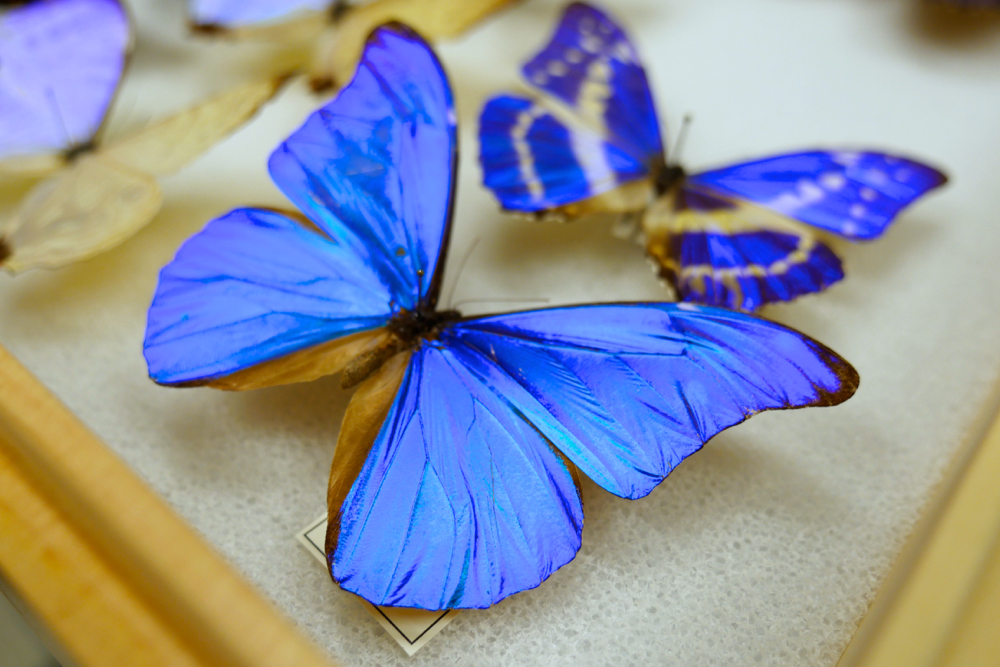 Morpho didius from Nipam Patel's specimen collection. Jenny Oh/KQED