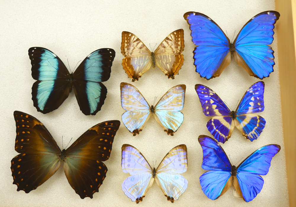 Varying species of Morpho butterflies. Jenny Oh/KQED