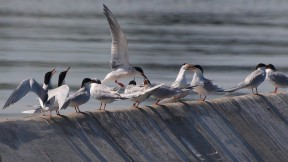Forster's terns which nest on islands in the bay had some of the highest recorded concentrations of flame retardants in their eggs in any wildlife worldwide. (Ingrid Taylar/Wikimedia)