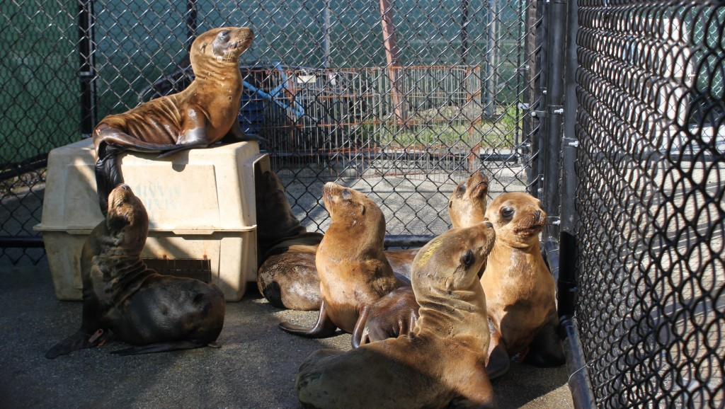The Marine Mammal Center's record-breaking patient load in 2014 included an influx of emaciated young sea lions. (Sarah van Schagen/The Marine Mammal Center)