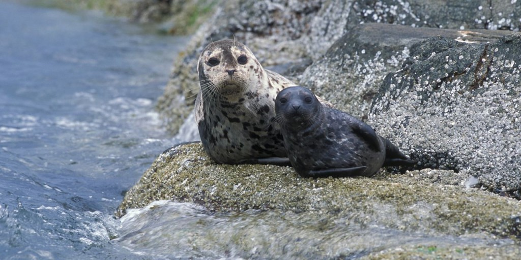 Harbor seals can live up to 30 years and have long exposures to toxic chemicals in the bay. (Dr. Brandon Southall, NMFS/OPR/Wikimedia)