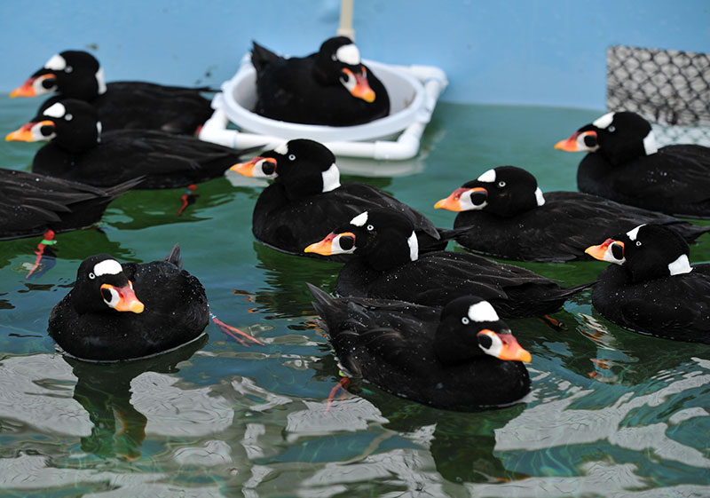 Surf scoters, cleaned and recuperating in a pool at IBR await release back into the wild. (Courtesy of IBR)