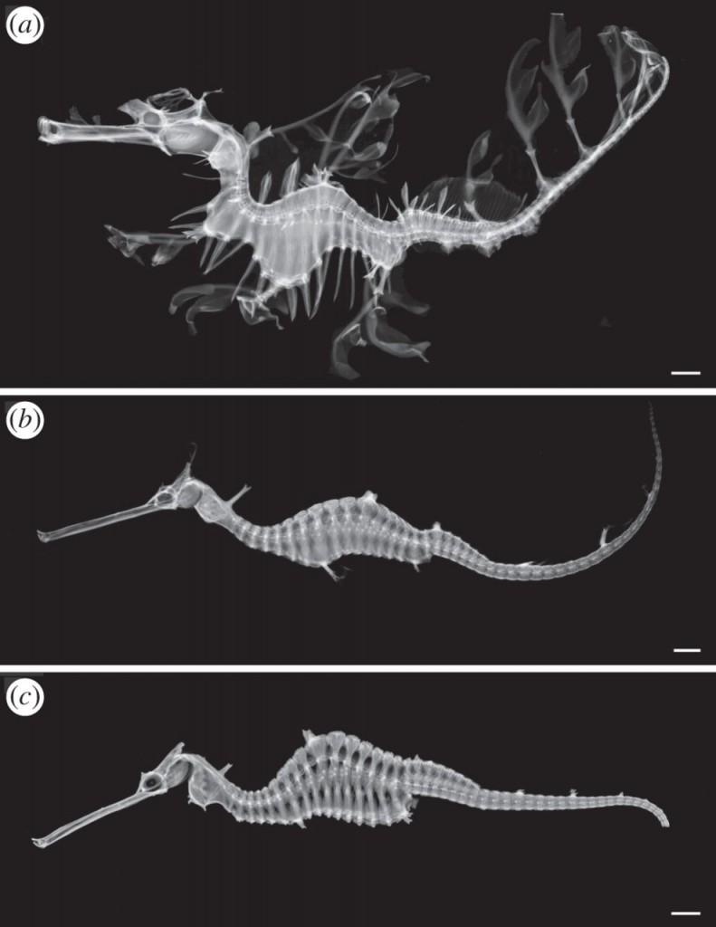 skeletons of seadragons