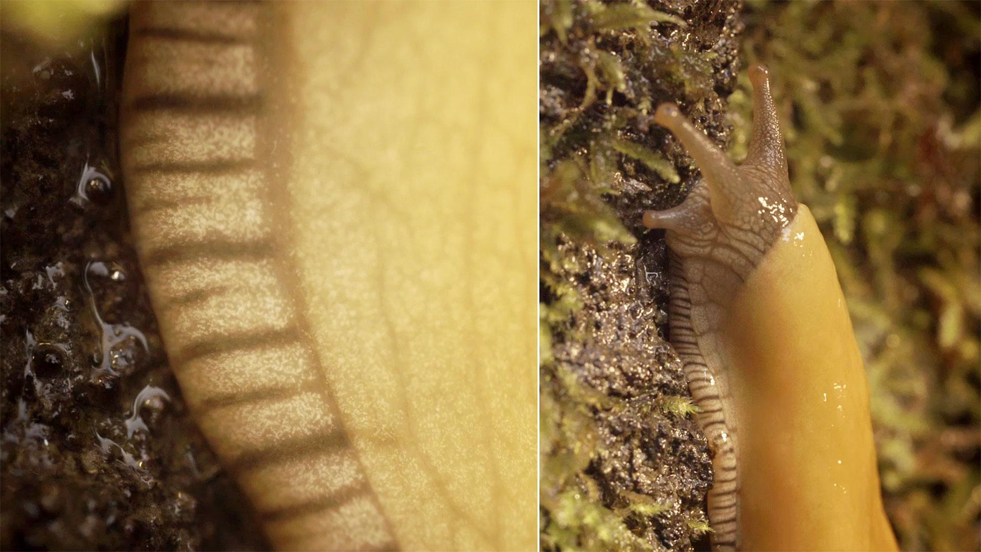 Banana Slugs: Secret of the Slime | Deep Look | KQED Science