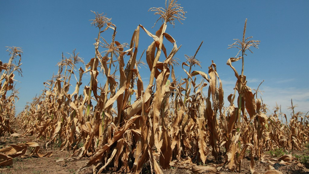 Corn plants struggle to survive in a drought-stricken farm field near Oakton, Indiana. The corn and soybean belt in the middle of the nation is experiencing one of the worst droughts in more than five decades. (Scott Olson/Getty Images)