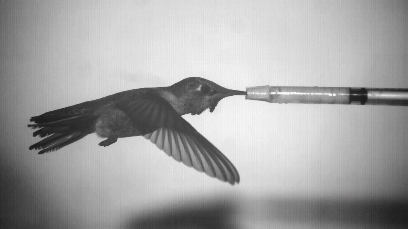 A framegrab from high-speed video of a hummingbird feeding in a wind tunnel at UC Berkeley. Image courtesy of Victor M. Ortega, UC Berkeley.