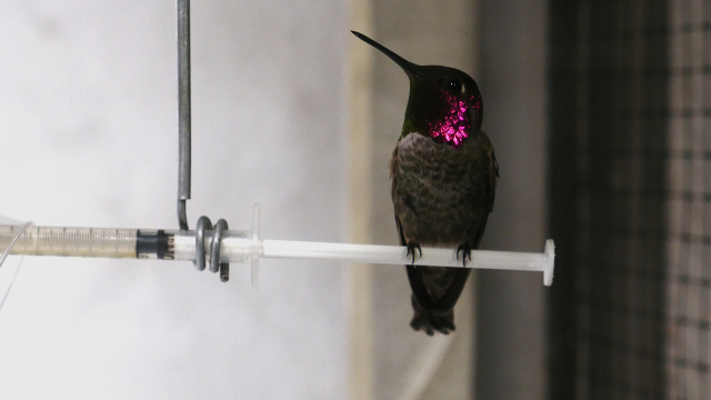 An Anna's hummingbird rests after feeding in a wind tunnel at the Animal Flight Laboratory at UC Berkeley. Image by Sheraz Sadiq / KQED Science
