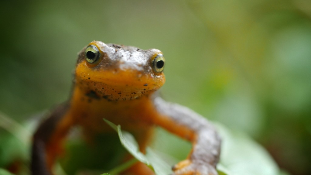 Newts' bright yellow belly and eyes warn predators to stay away from their toxic skin (Josh Cassidy/KQED)