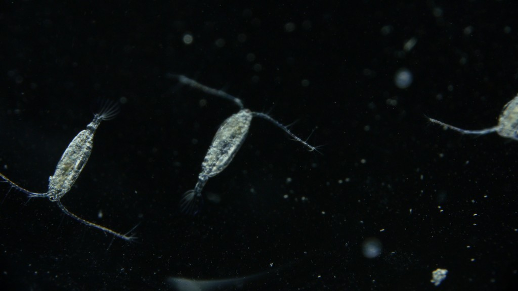 Acartia hudsonica, a species of marine copepod (Josh Cassidy/KQED)