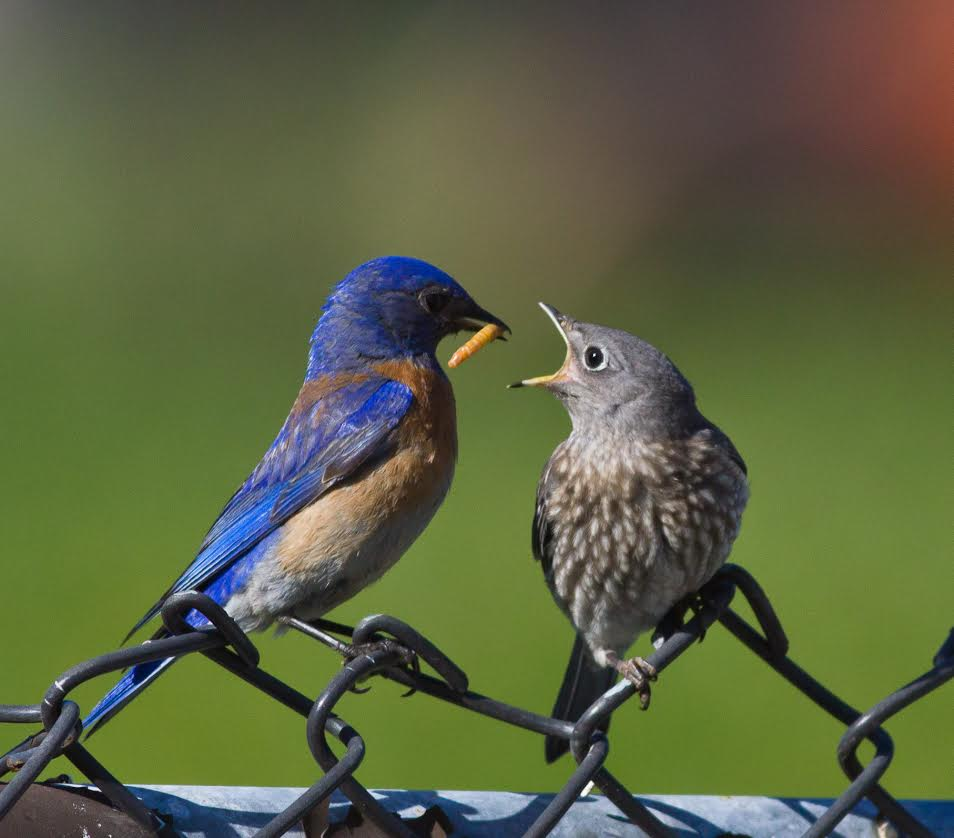 Hungry fledglings are fed by both parents, mostly insects. (Courtesy of Allen Hirsch)
