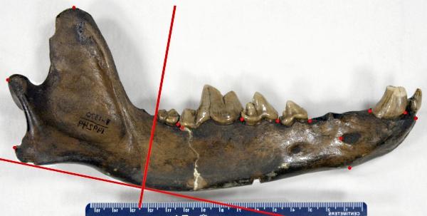 Dire wolf jawbone