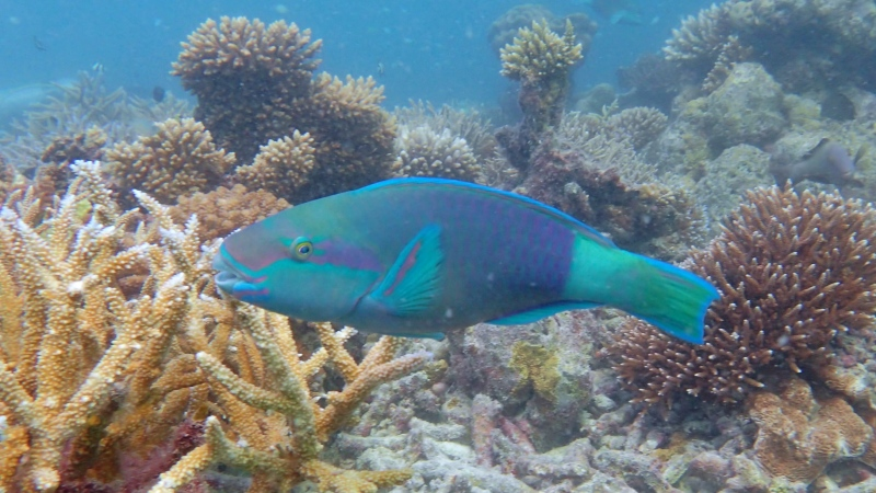 Daisy Parrotfish in the Maldives