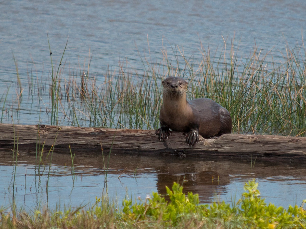 River Otter Populations Are Expanding in the Bay Area