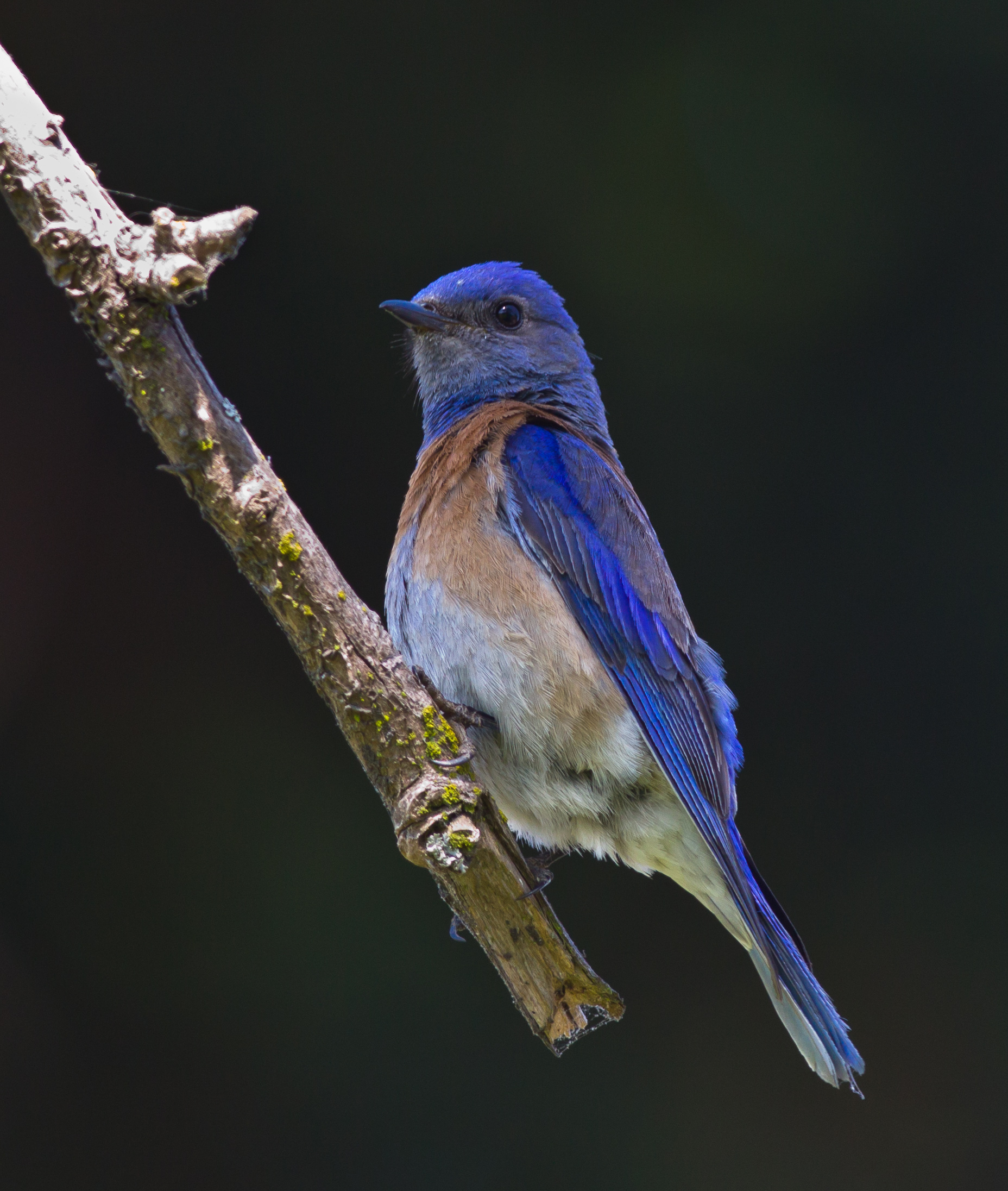 Male Western bluebirds attract a lot of attention with their brilliant colors. (Allen Hirsch)