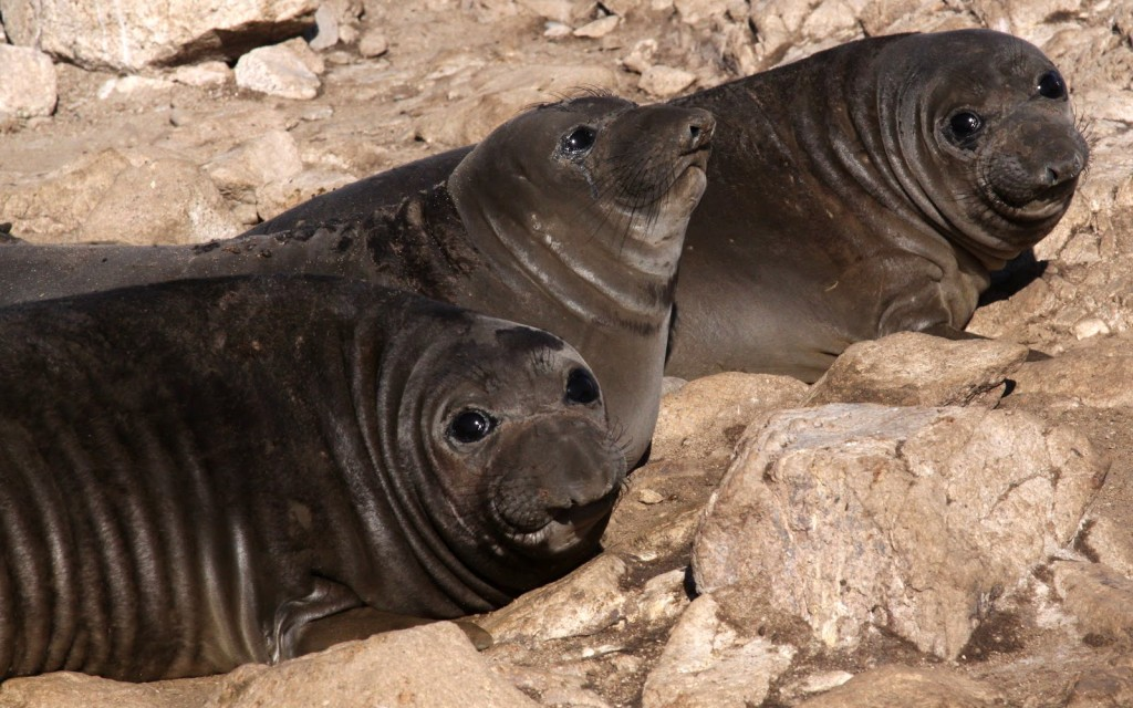 On the Farallones, the warm air and warm ocean this winter proved harsh for wildlife like these weaned elephant seal pups. (Sophie Webb/Point Blue)