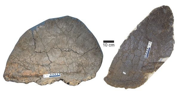 Male and female stegosaur plates