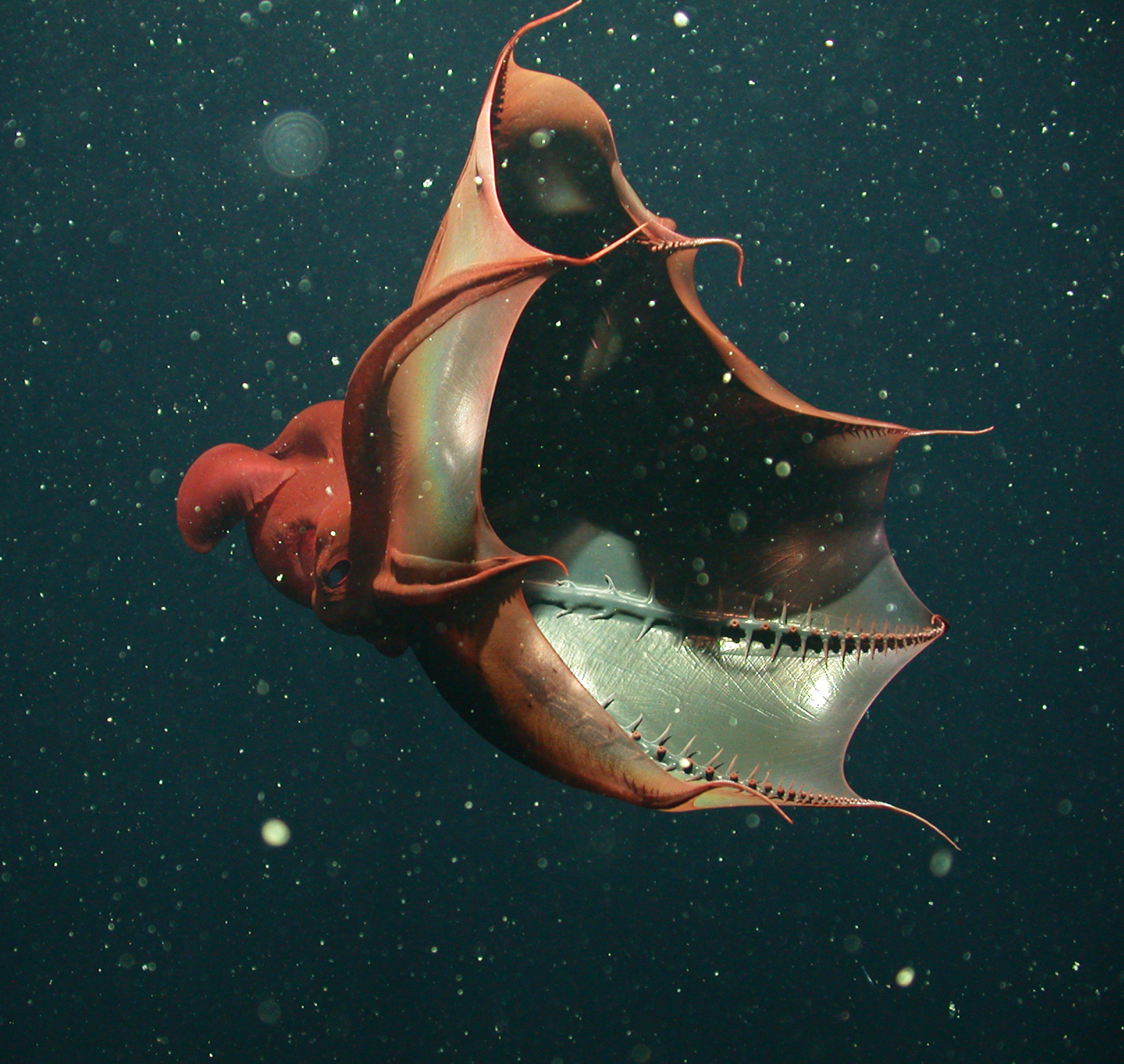 "vampire squid showing soft ""spines"""