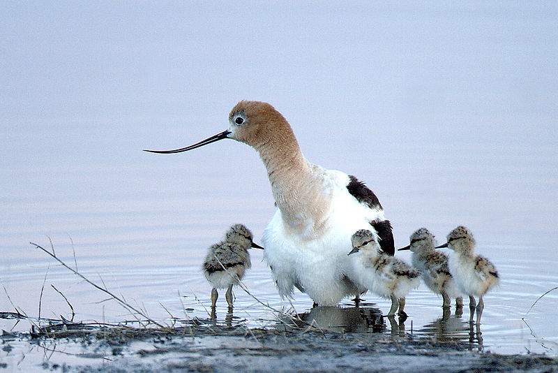 Local birds like this American Avocet breed in the Bay Area while other species only spend part of the year here. (Barbara Wheeler/Wikimedia Commons)