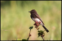 Black phoebes are a common bird in our area. (Courtesy of George Suennen)