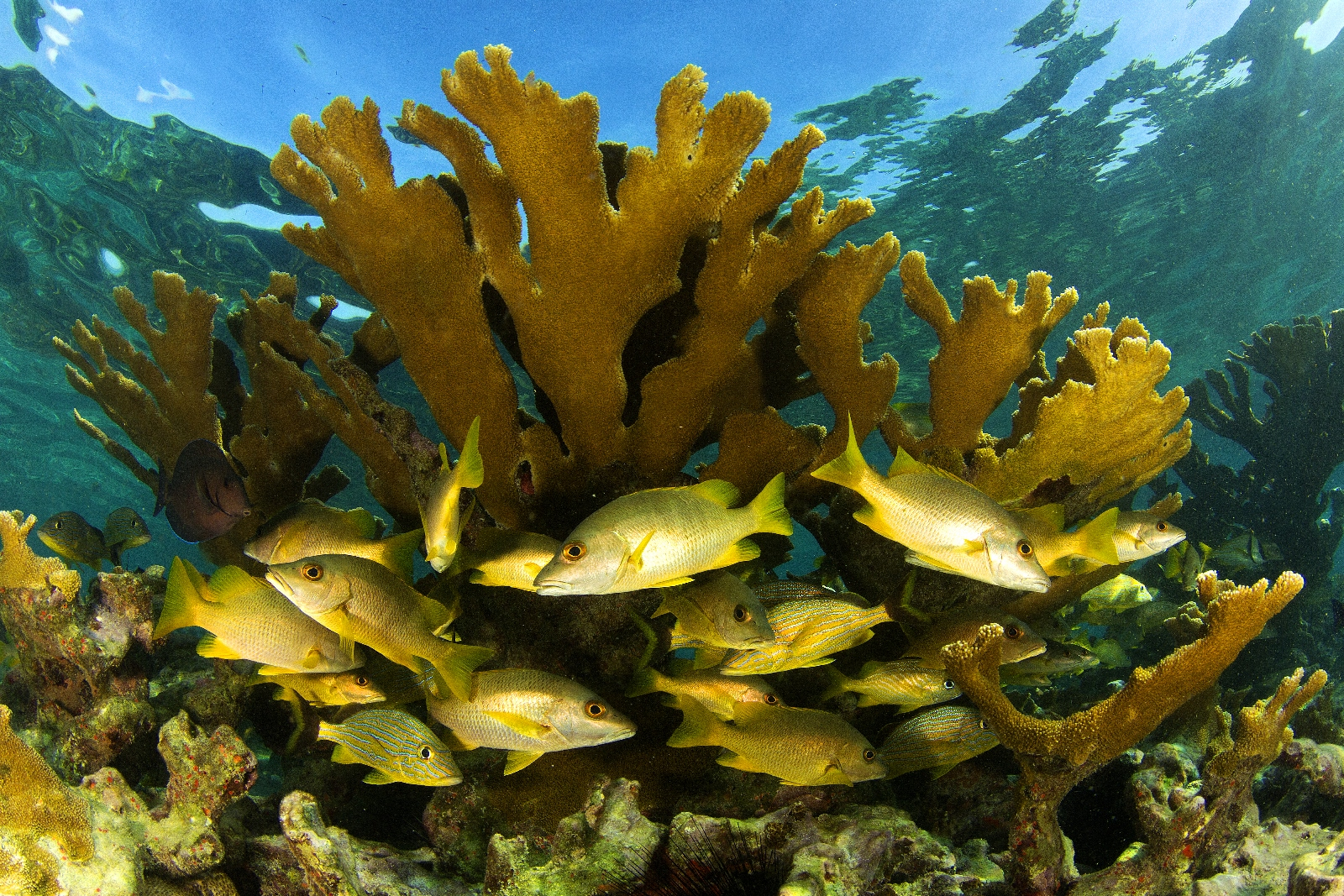 Grunts swimming under elk horn coral (Acropora palmata). Credit: Noel Lopez