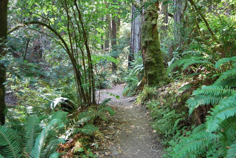View up the Pioneer Tree trail. Many Bay Area redwood groves are found on hilly terrain like this, which provides a  different ecosystem than the floodplains that host some more northern coast redwoods.