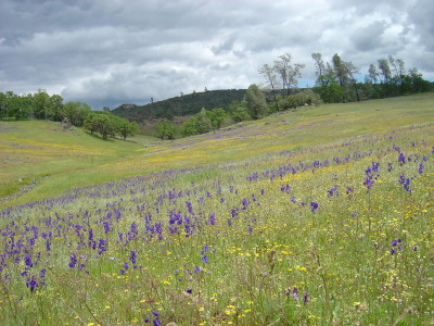 A wildflower grassland in McLaughlin Natural Reserve. The new studies suggest grasslands are losing wildflower diversity with climate change.
