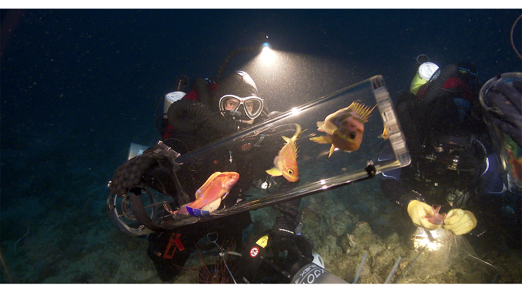 Highly-trained divers using decompression chambers to collect pink, orange, and red colored fishes found in the Twilight Zone. Since red light does not penetrate at these depths, the fish absorb all available wavelengths of colors and appear almost invisible to predators. (Elliott Jessup/California Academy of Sciences)