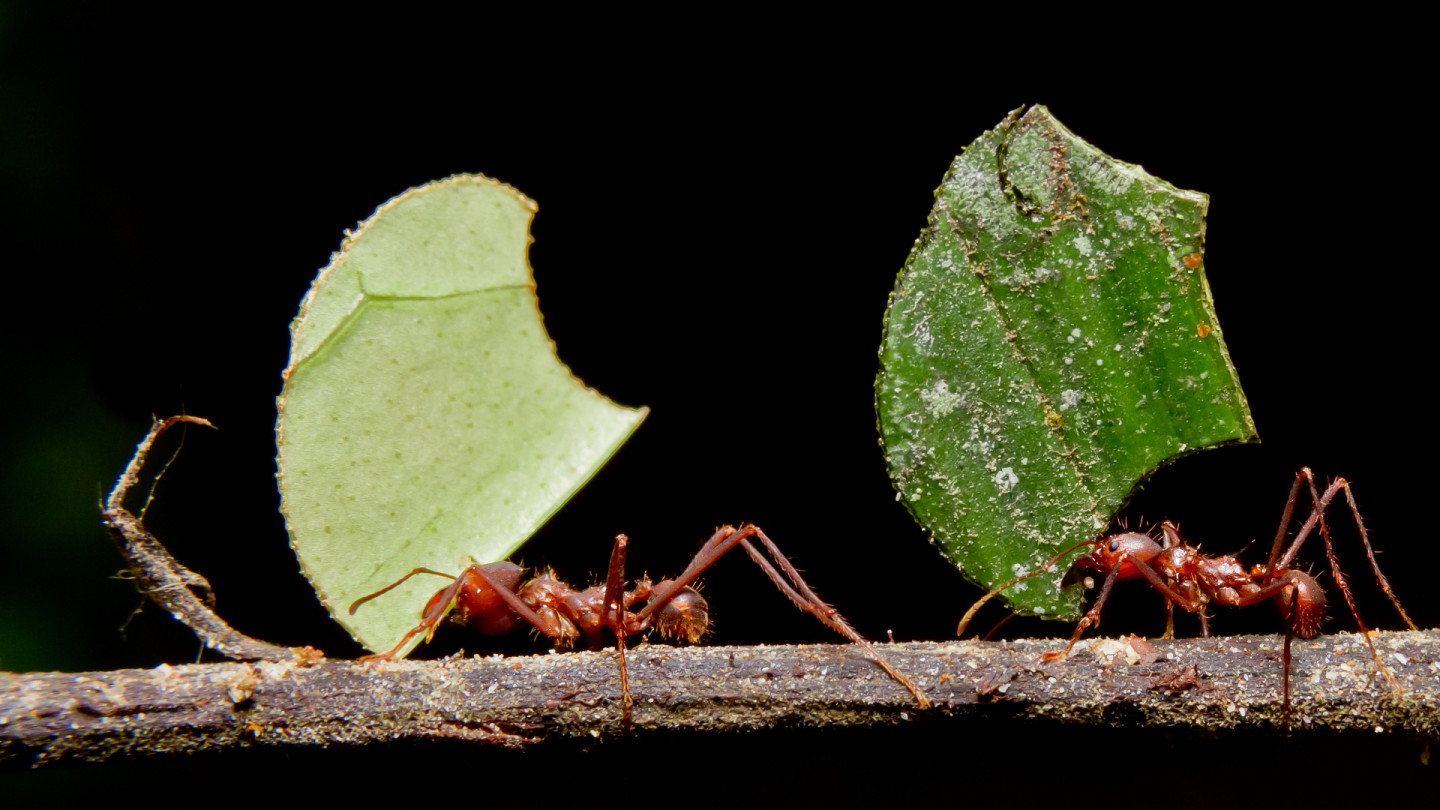 Where Are the Ants Carrying All Those Leaves?