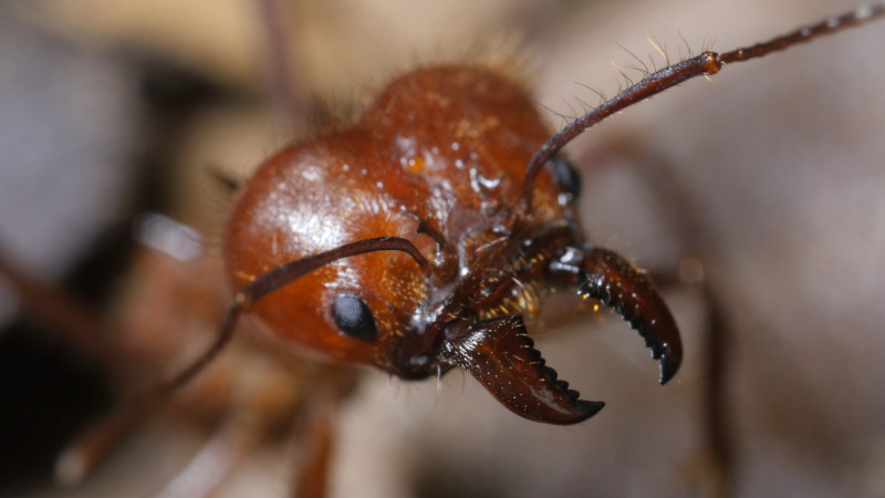 Soldier ants protect leafcutter colonies from ants that try to steal their larvae.