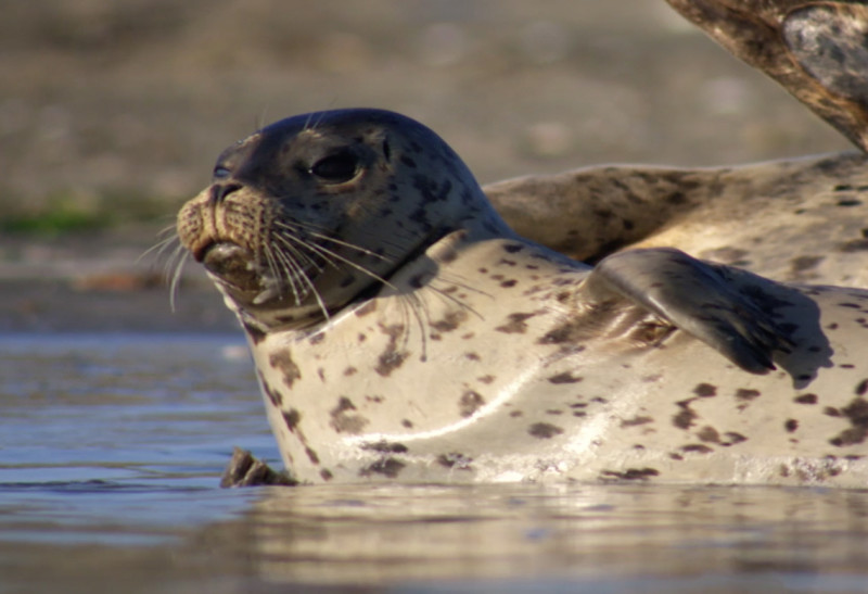 Harbor seals emerge out of the water to rest or breed along the shores of the expansion area of Gulf of the Farallones National Marine Sanctuary.