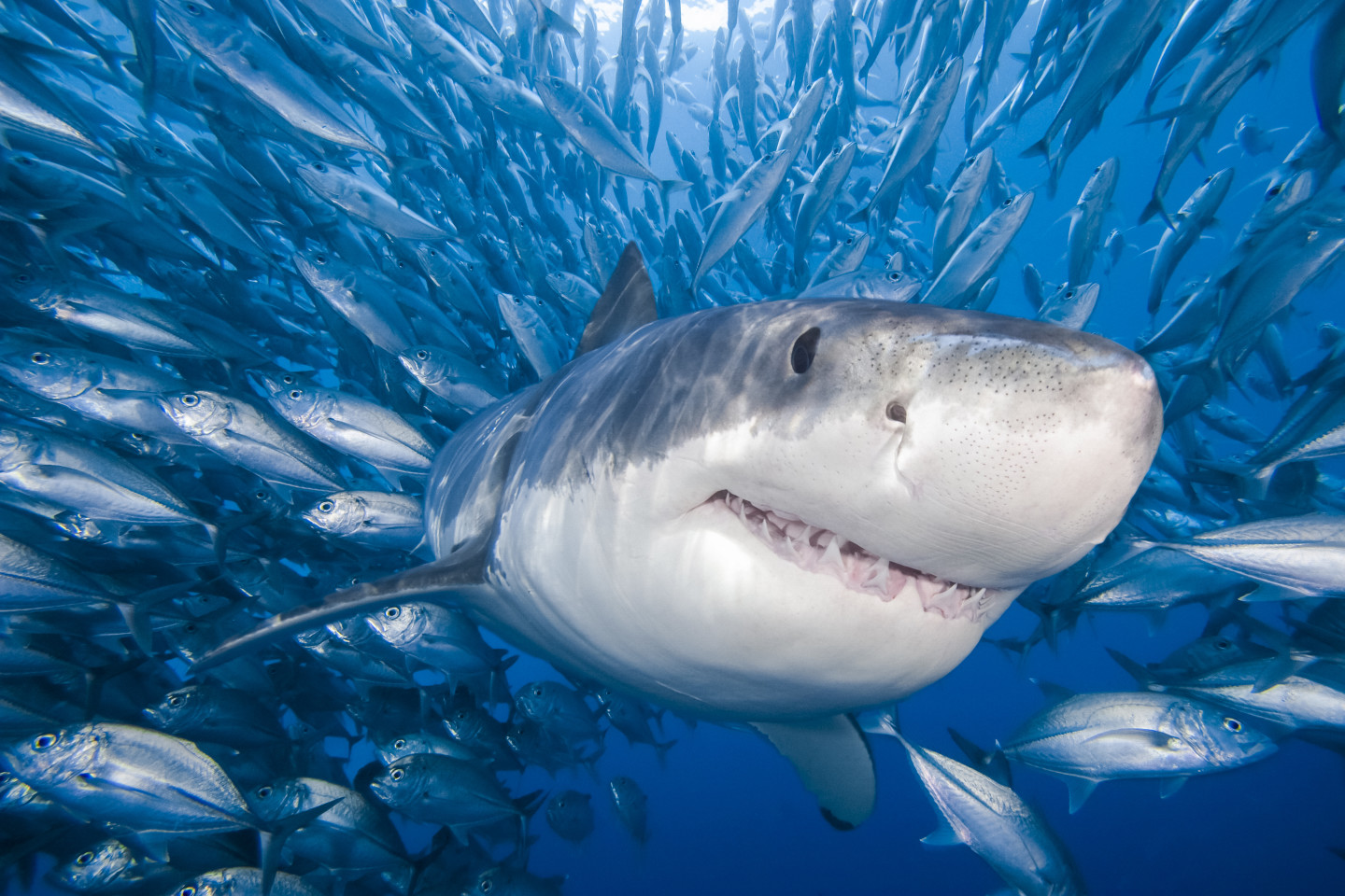 Shark Attack: Despite the Hype, Risk Along California Coast at All-Time Low