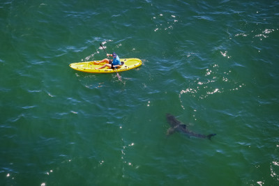 A great white shark approaches a kayaker. Although the total number of shark bites has increased since 1950, the individual risk has fallen by 91 percent.